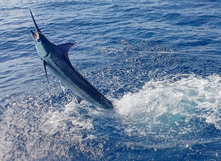 marlin-offshore-fishing0032