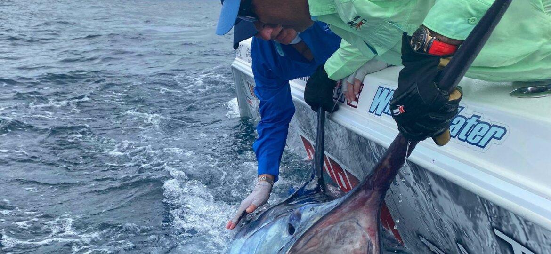 black marlin release